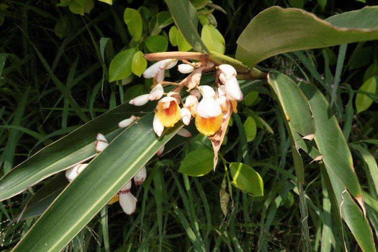 包粽、作為粿葉的民俗植物「月桃」