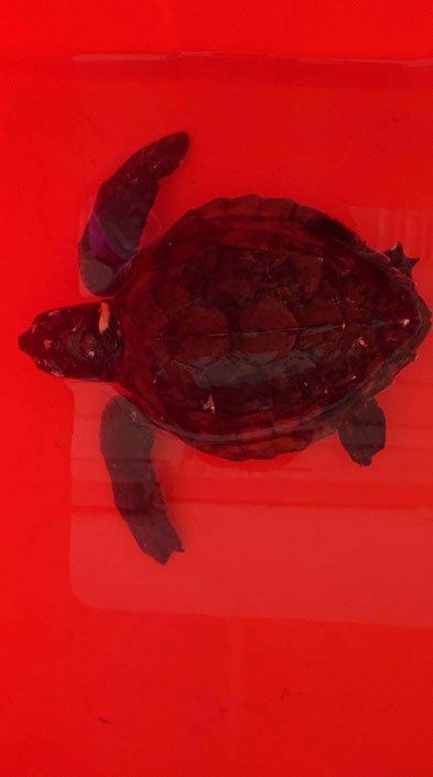 將海龜身體保持濕潤