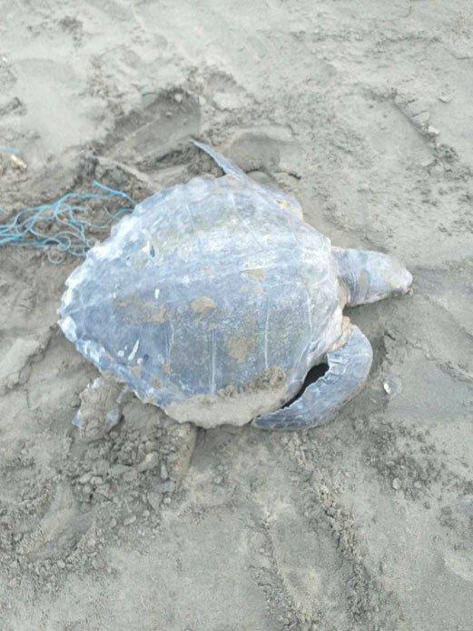 將海龜身上的漁網清除,讓海龜重新回到大海的懷抱