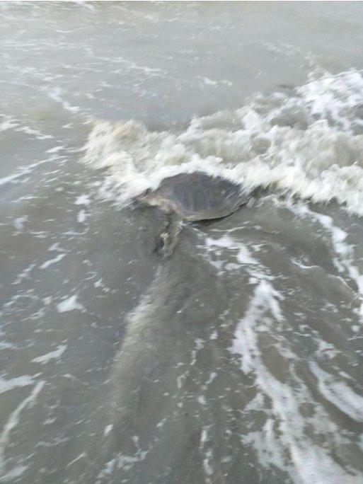 海龜重回大海