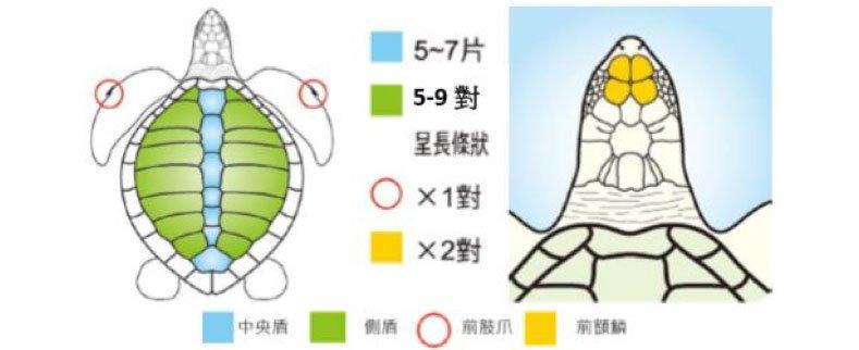欖蠵龜外部特徵
