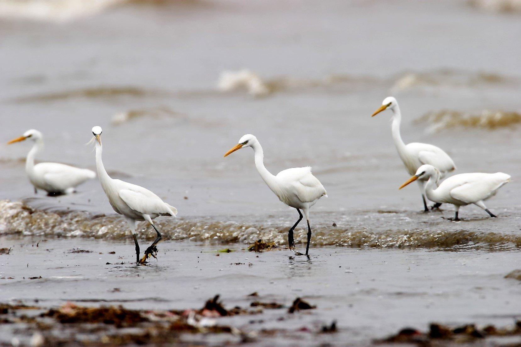 一級保護類唐白鷺是許厝港濕地的明星物種,全球只剩下三千隻(桃園市野鳥學會蔡木寬提供)